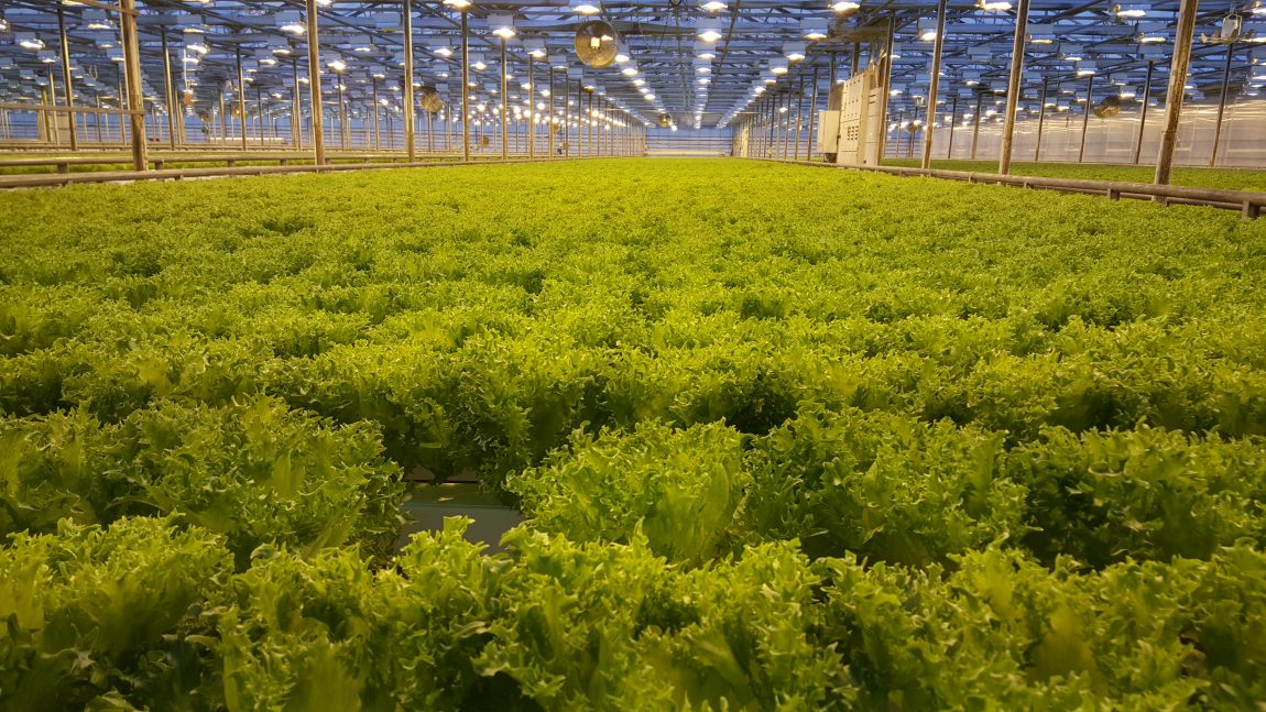 Hydroponic lettuce lines